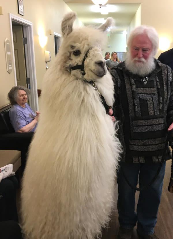 llama visits Bridgecreek Memory Care