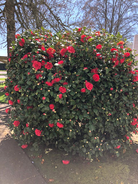 spring beauty at Solvang Retirement
