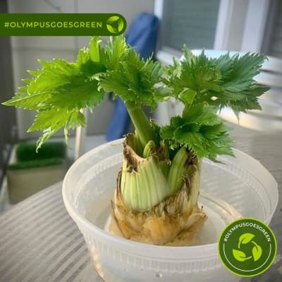 Celery stalk growing in a plastic container