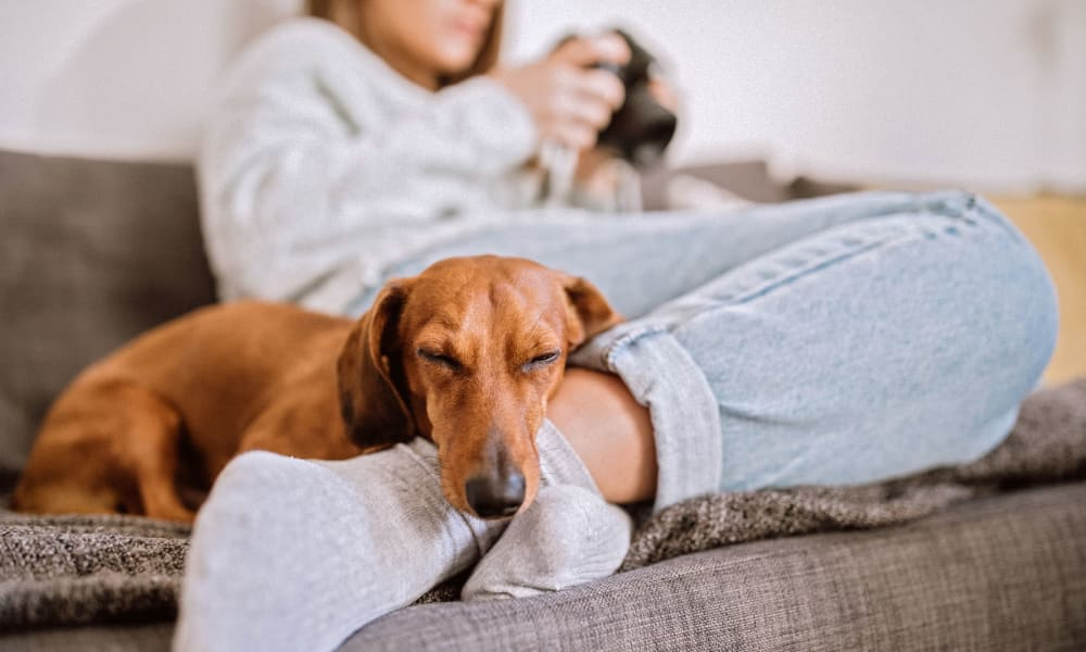 Happy dog relaxing with his owner on the couch in their apartment at Oaks 5th Street Crossing at City Station in Garland, Texas