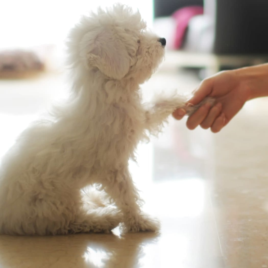 A small dog shaking hands with its owner at 97@ North Oak in Kansas City, Missouri