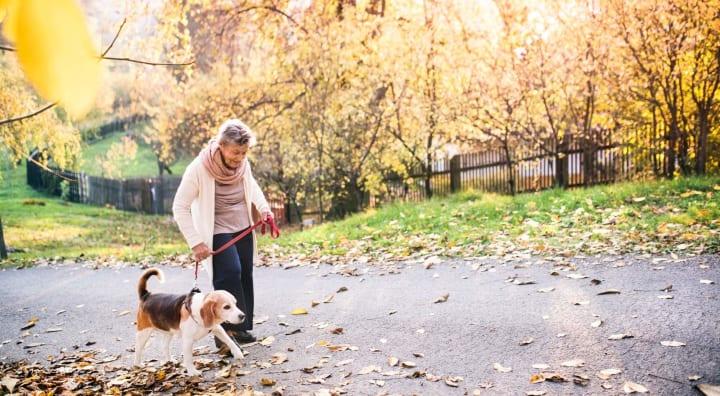 Senior woman walking beagle