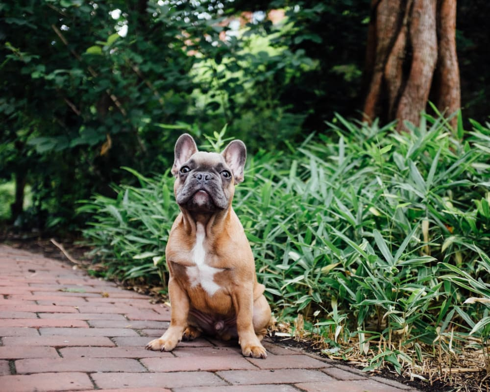 Resident pup posing for a photo outside at Olympus Midtown in Nashville, Tennessee
