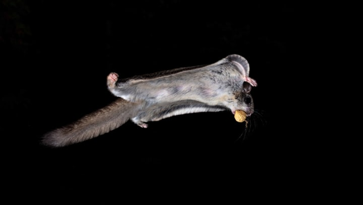 Northern flying squirrel with acorn in it