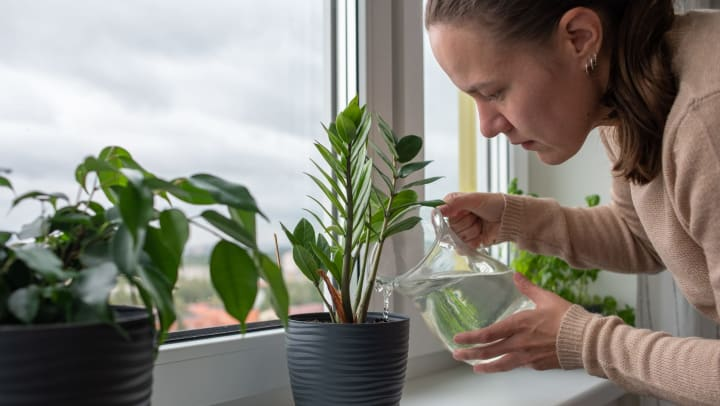 Woman watering a houseplant sitting on window sill with a pitcher of water.