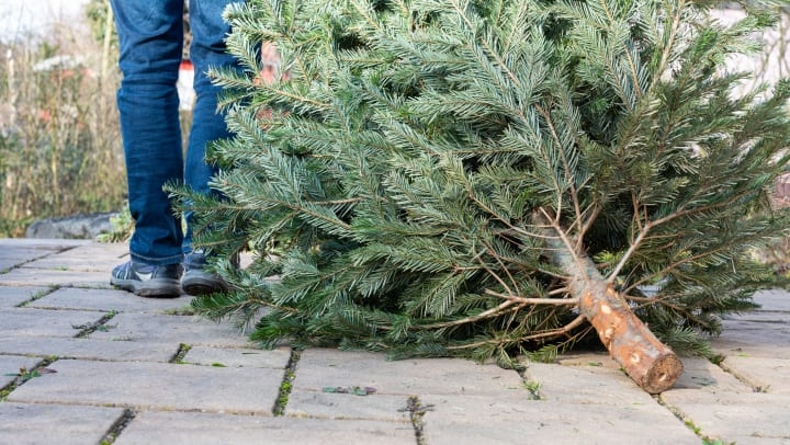A man's legs are visible as he drags an Xmas tree along a path.