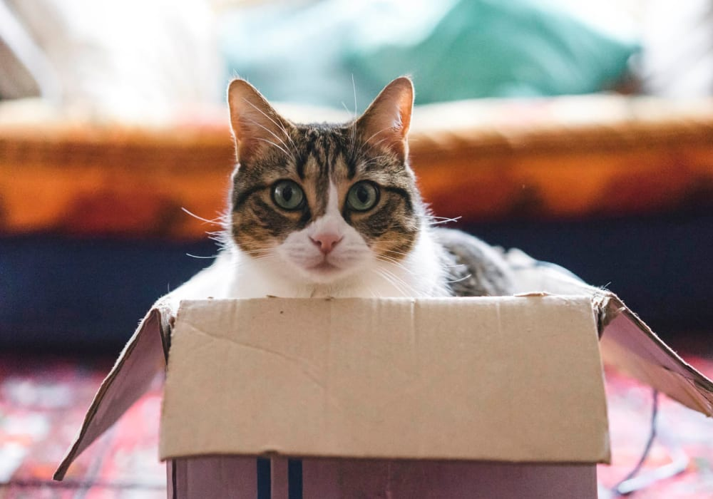 Cat in a box in her new home at Waters Edge at Marina Harbor in Marina del Rey, California