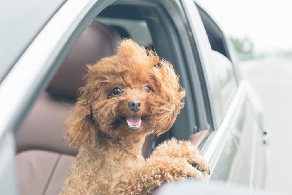 Happy dog with her head out the window on the drive to her new home at Sentio in Phoenix, Arizona
