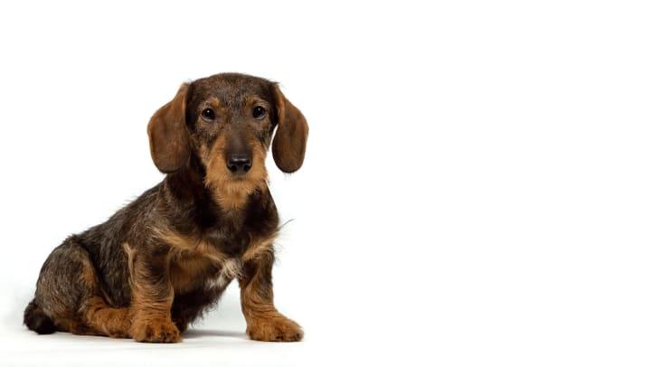 A brown and tan dachshund sitting