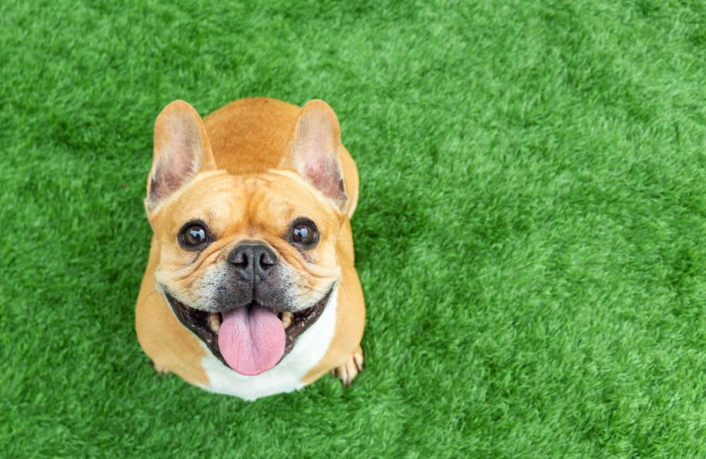 Happy French bulldog on green grass at The Seasons at Umstead in Raleigh, North Carolina