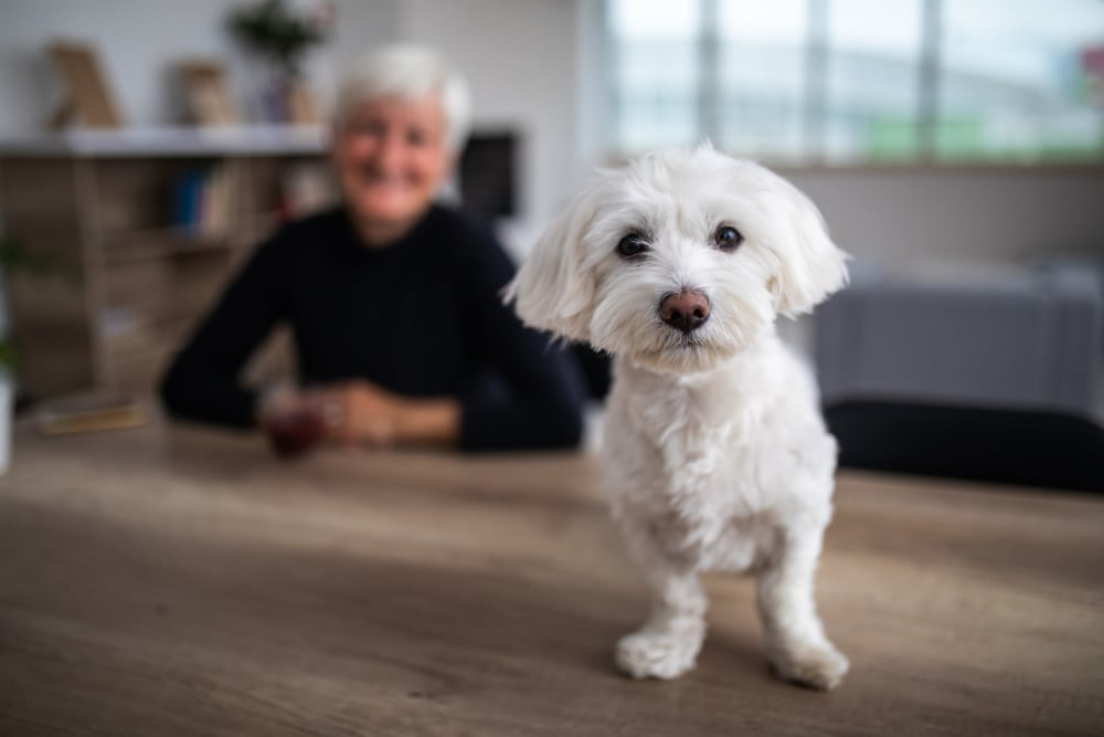 Cute little dog enjoying his new home at Campus Commons Senior Living in Sacramento, California