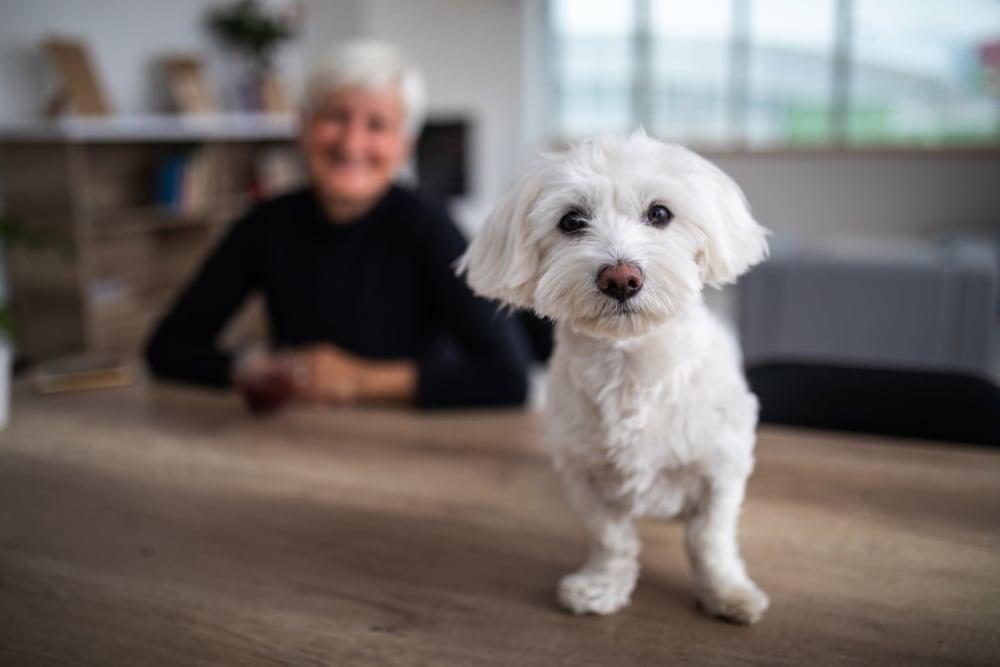 Cute little dog enjoying his new home at Winding Commons Senior Living in Carmichael, California