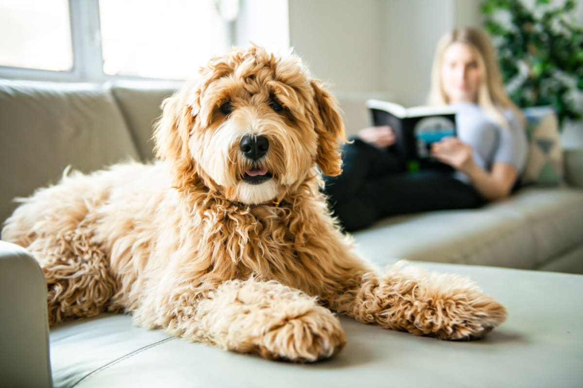 Labradoodle enjoying her new home at Aspen Place in Aurora, Illinois