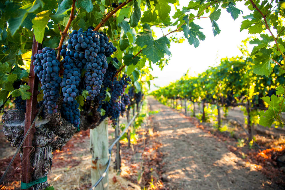 Grapes growing at a vineyard near WellQuest of Elk Grove in Elk Grove, California