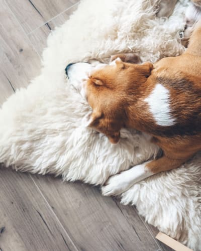 Dog relaxing on a soft rug in his new home at