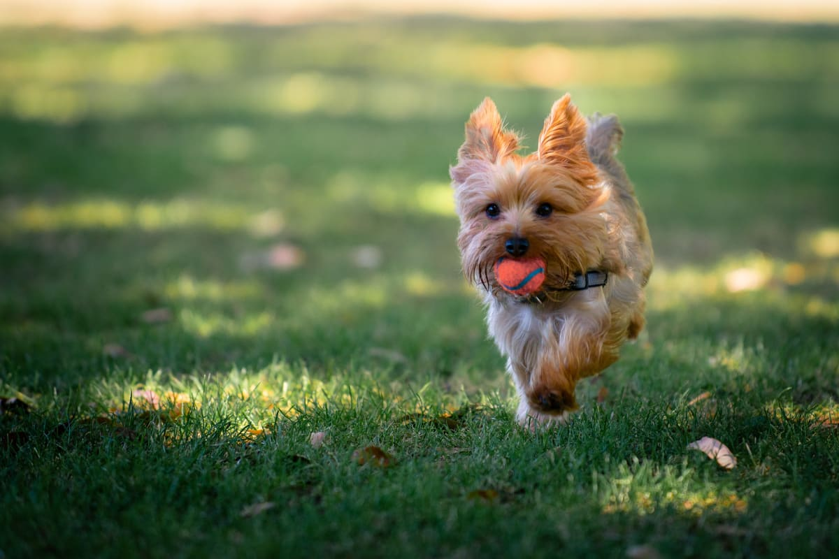 A dog running with a toy at Fox and Hounds Apartments in Columbus, Ohio