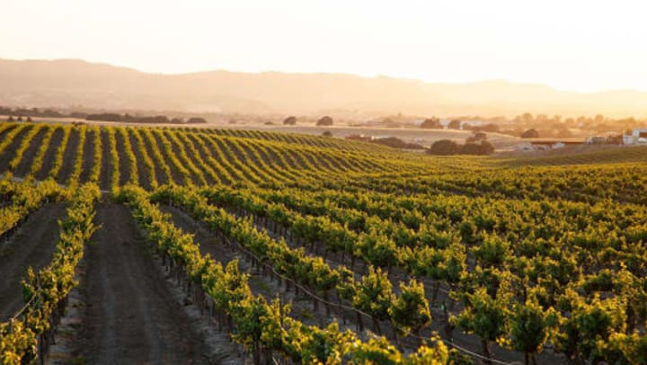 Vineyard with a mountainous background at sunset.