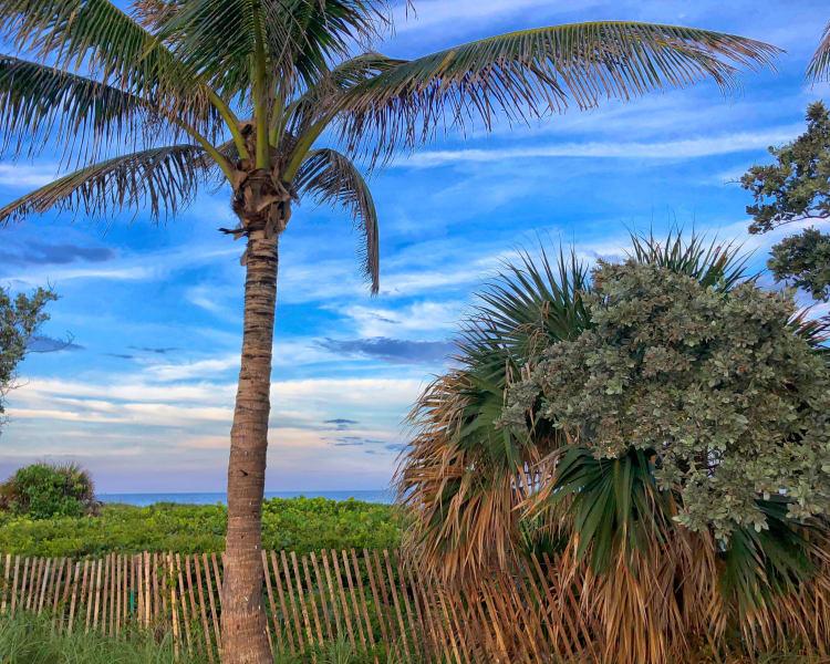 Palm trees near Verse at Royal Palm Beach in Royal Palm Beach, Florida