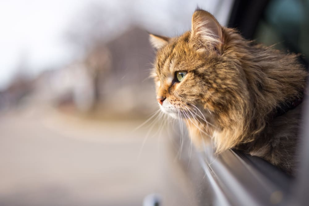 Cat hanging its head out the window on the drive to its new home at Club Cancun in Chandler, Arizona