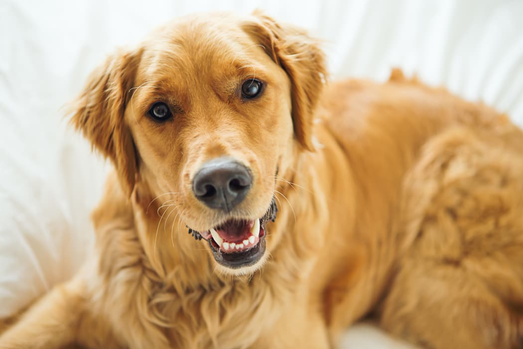 Happy Golden Retriever in Temple, Texas near Portico at Friars Creek Apartments