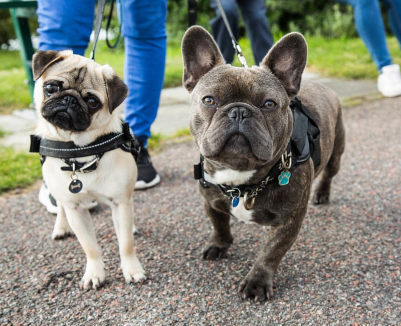 French bulldogs walking with their owners at Ridley Brook Apartments in Folsom, Pennsylvania