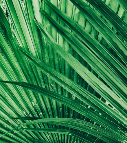 Picture of palm leaves near Ocean Park of Ponte Vedra in Jacksonville Beach, Florida