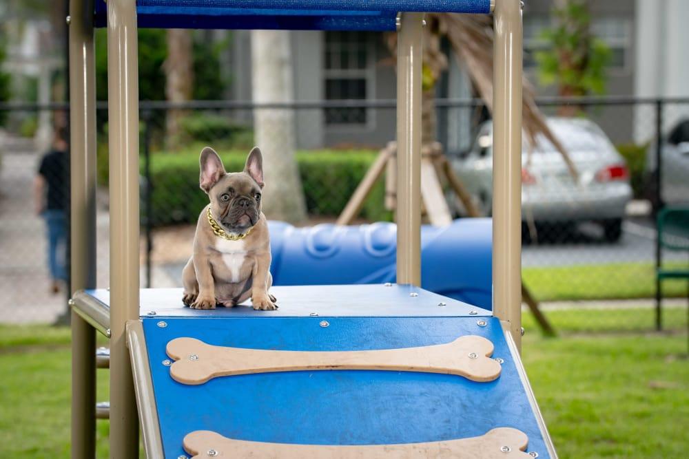Dog playing at dog park near The Sophia at Abacoa in Jupiter, Florida