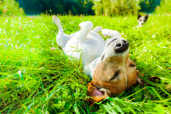 Dog laying on grass at Augusta Meadows in Tomball, Texas