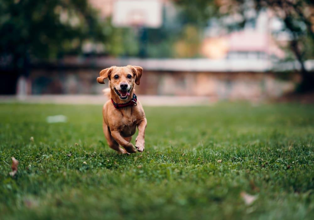 Dog joyfully running through the green grass outside her new home at Rancho Los Feliz in Los Angeles, California