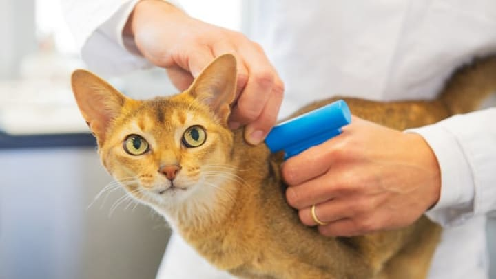 Resident cat getting a tracking chip near Vive in Chandler, Arizona