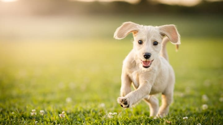 Puppy running around in the grass at Union at Carollton Square in Carollton Texas.