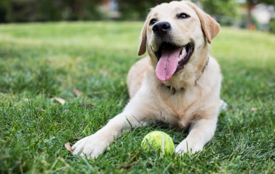 Happy dog with a ball at Main Street Apartments in Rockville, Maryland