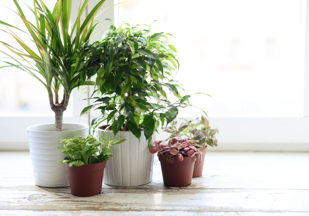 Thriving houseplants in a model home at The Landmark Apartment Homes in Sunnyvale, California