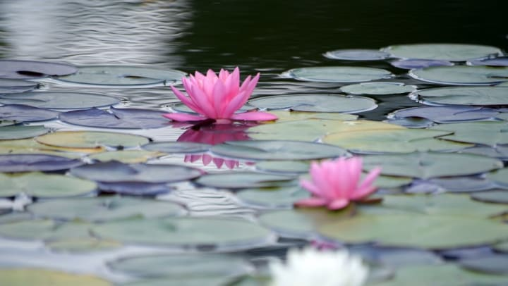 Water lilies on a pond at Tacara at Westover Hills in San Antonio, Texas