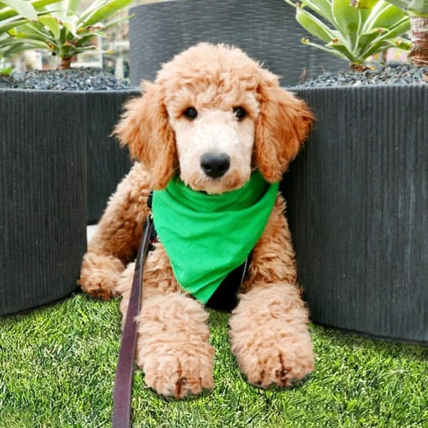 Cute labradoodle wearing a green bandanna at The Crossing at Cooley Station in Gilbert, Arizona