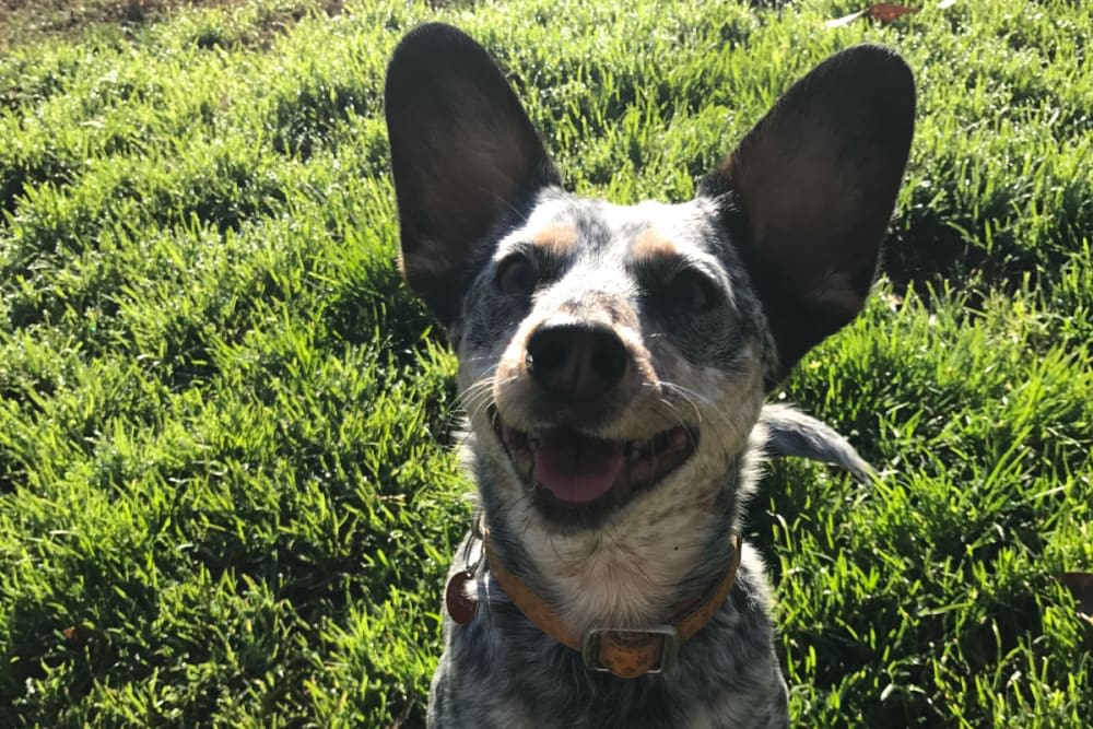 Cute dog smiling for the camera at University Pet Resort in Merced, California