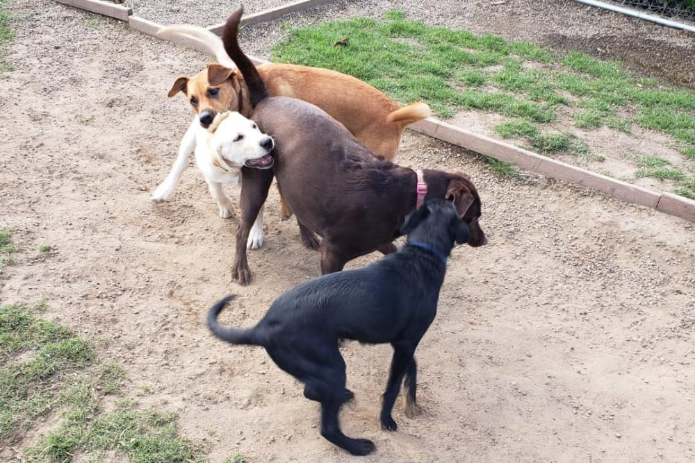 Dogs having a blast playing at University Pet Resort in Merced, California