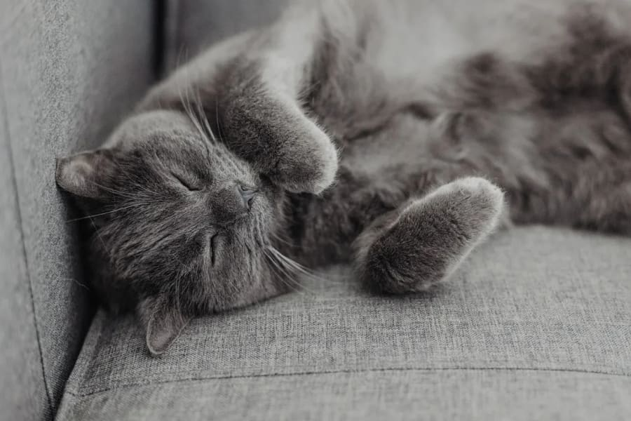 Cute grey cat napping at Regency Heights in Iowa City, Iowa