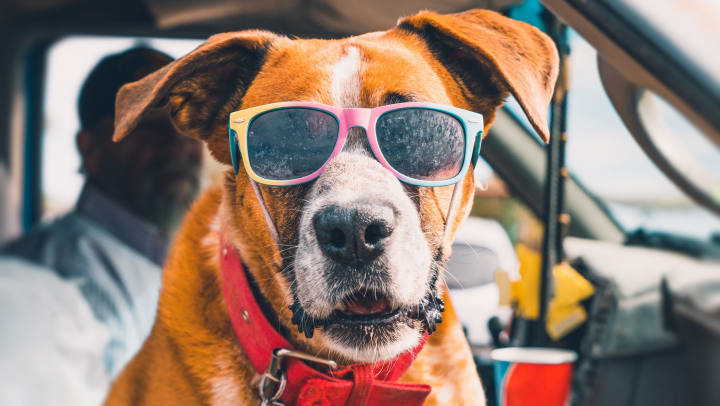 Cool dog wearing colorful sunglasses looking out of a pick-up truck window