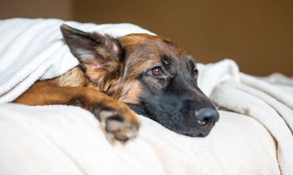 Happy dog relaxing under the covers at her home at The Aspect in Kissimmee, Florida