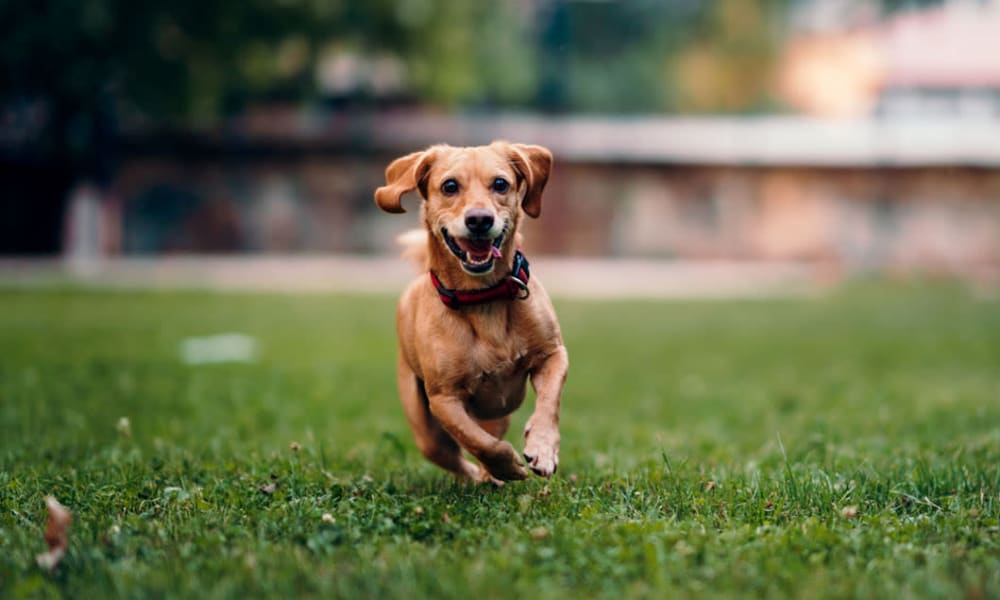 Happy puppy running on the green grass outside her apartment at Oaks Riverchase in Coppell, Texas