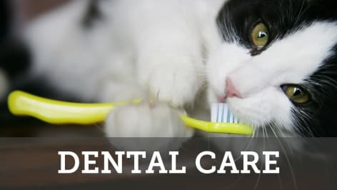 Dental care services for your cats at Civic Feline Clinic in Walnut Creek, CA