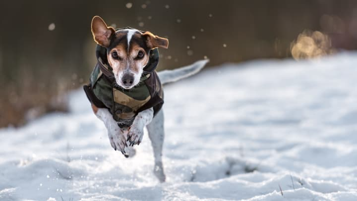 Small dog with a jacket runs in the snow