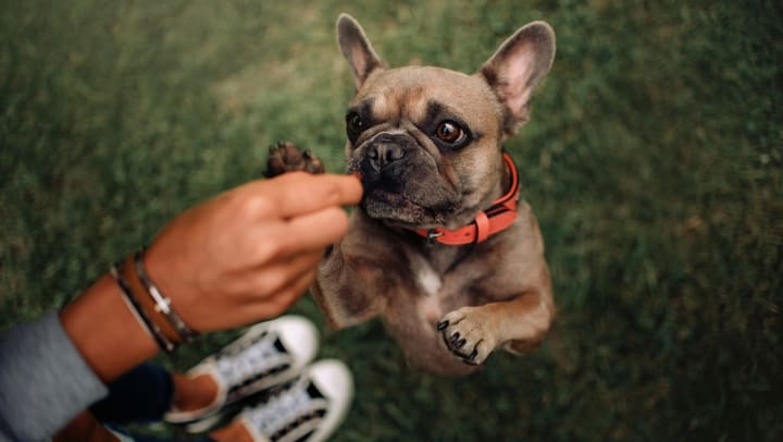 A person feeds a treat to a dog, which is standing on two legs in excitement.