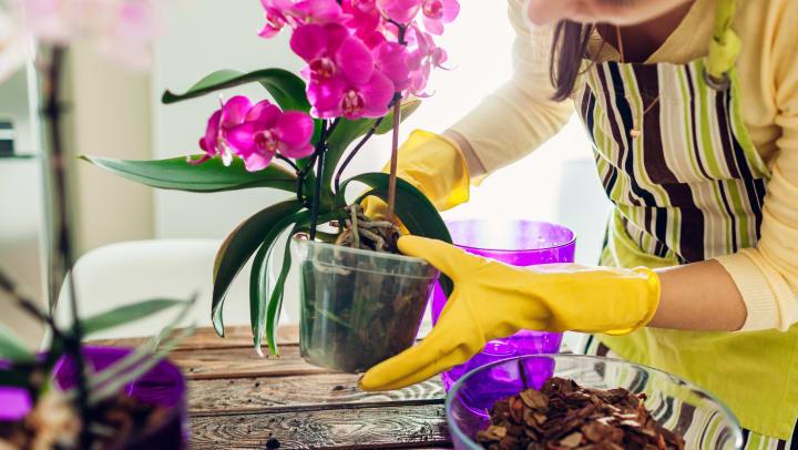 Woman transplanting a bright pink orchid at Olympus at Daybreak in South Jordan, Utah