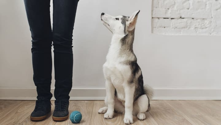 Dog sitting on the floor next to a ball and looking at owner.