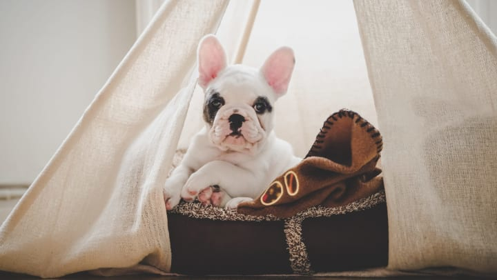 A French bulldog puppy resting inside a fabric teepee tent.