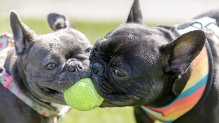 Two French bulldogs both biting a green tennis ball outside.