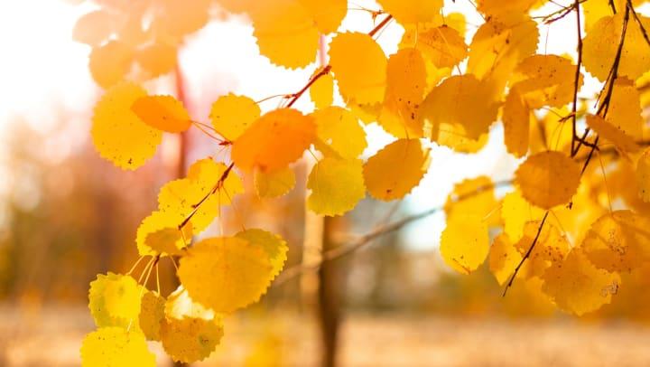 Autumn yellow foliage on an aspen branch.