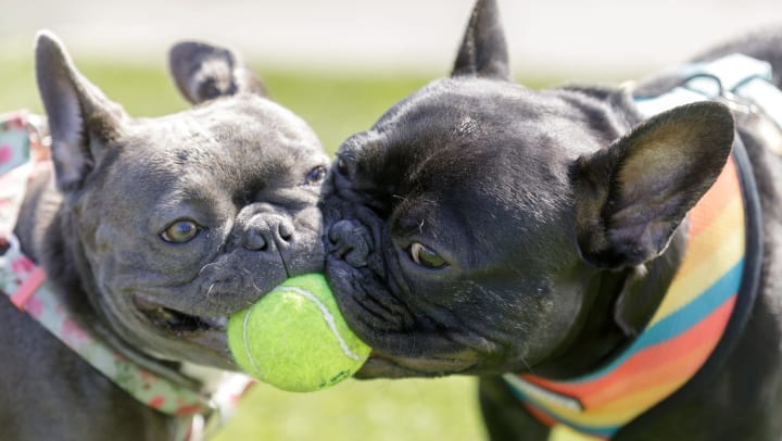 Two dogs chewing on a tennis ball at The Ranch at Shadow Lake in Houston, Texas